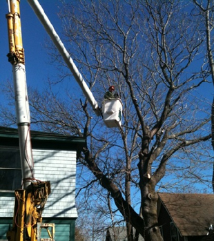 Eagle-Arboriculture, MDI, Mount Desert Island Maine Tree Service, Pruning, Tree Care, Planting, Tree Preservation, Management & Removal, Tree Disease Control